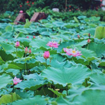 """ハノイの""""夏の風物詩②"""" 気品高き香り 蓮の花"""